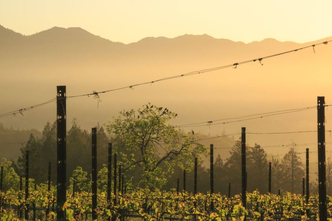 Vineyard Facing Mountain During Sunset