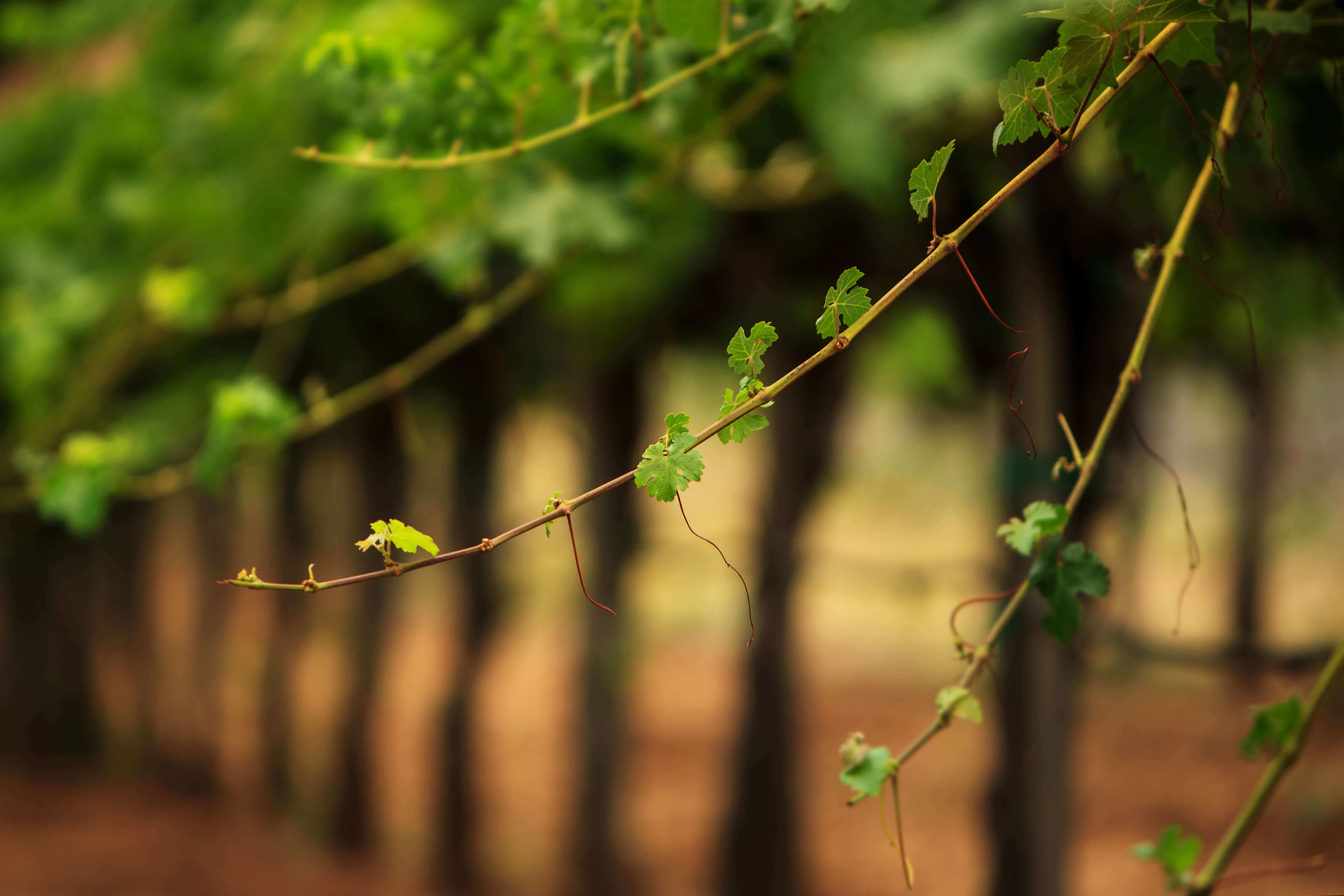 Up Close Shot of Lush Vineyard Landscape